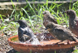 starlings bathing.JPG