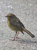 young Robin 2