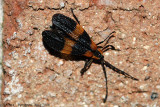 Banded Net-wing (Calopteron sp.)