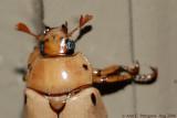 Grapevine Beetle - Up Close