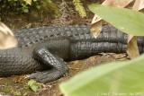 Large Gator