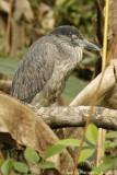 Yellow-crowned Night-heron (Juvenile)