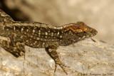 Lizard sp.