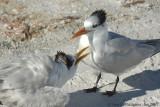 Royal Tern Begging