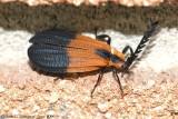 Net-winged Beetle (Calopteron sp.)