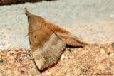 Moth sp.