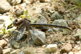 Dragonfly sp.