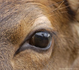 Elk Calf's Eye