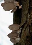 Pleurotus ostreatus( Oyster-Mushroom).