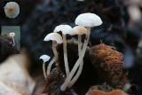 Marasmiellus ramealis.