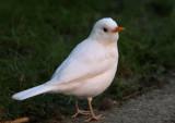 (ALBINISTIC )WHITE BLACKBIRD