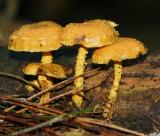 Pholiota flammans.jpg
