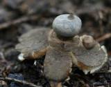Geastrum pectinatum.jpg