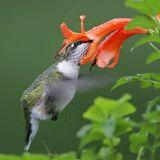 _MG_5909 Ruby-throated Hummingbird.jpg