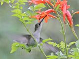 _MG_6083 Ruby-throated Hummingbird.jpg