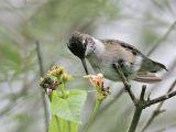 _MG_6144 Ruby-throated Hummingbird.jpg