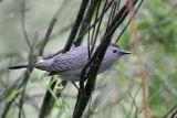 _MG_5253 Gray Catbird.jpg