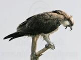 Osprey - Casting a pellet