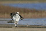 Osprey - On ground shake