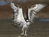 Osprey - Wing flapping