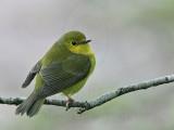 _MG_6359 Wilson's Warbler.jpg
