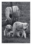 Spring Lambs - Madrid