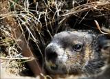 Maman Marmotte