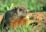 Papa Marmotte