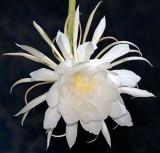 Night Blooming Cereus - ê¼»¨Ò»ÏÖ