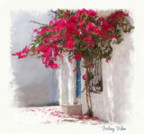 courtyard bougainvillea