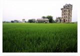In Rice Fields ½_¥Ð»P¸M¼Ó