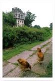 With Chicken ¨«¦a¬Ý¸M¼Ó