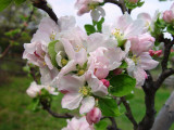 Apple Blossoms - Old Bethpage Village Restoration, Long Island, NY