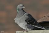 Pigeon biset (Île Sainte-Hélène, 21 décembre 2006)