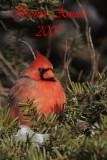 Cardinal rouge (Île Sainte-Hélène, 29 décembre 2006)