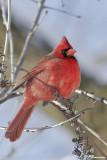 Cardinal rouge (Île Sainte-Hélène, 16 janvier 2007)