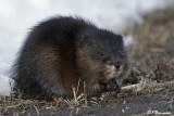 Rat musqué (Saint-Constant, 4 mars 2007)