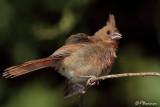 Cardinal rouge (Cimetière du Mont-Royal, 5 août 2007)