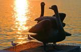 Schwaene / Swans (2880)