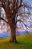 Linde / Lime Tree (9085)