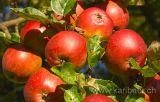 Aepfel / Apples (6705)