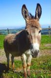 Esel / Donkey (5295)