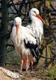Stoerche / Storks (9987)