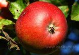 Apfel (6715)