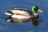 Ente / Duck (0341)