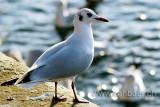 Moewe / Gull (0352)
