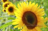 Sunflowers (6979)
