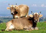 Kuehe / Cows (09855)