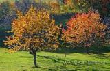Baeume im Herbst (7830)