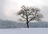 Baum im Winter (01563)